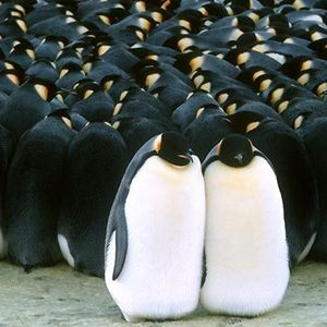 Die Reise der Pinguine : Bild