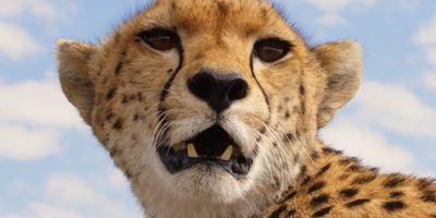 """""""Maleika"""": Bewegender Trailer zur Geparden-Dokumentation von Matto Barfuss"""