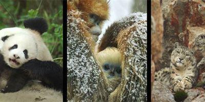 """Deutscher Trailer zu """"Born In China"""": Pandas, Affen und Schneeleoparden zeigen sich von ihrer knuddeligsten Seite"""