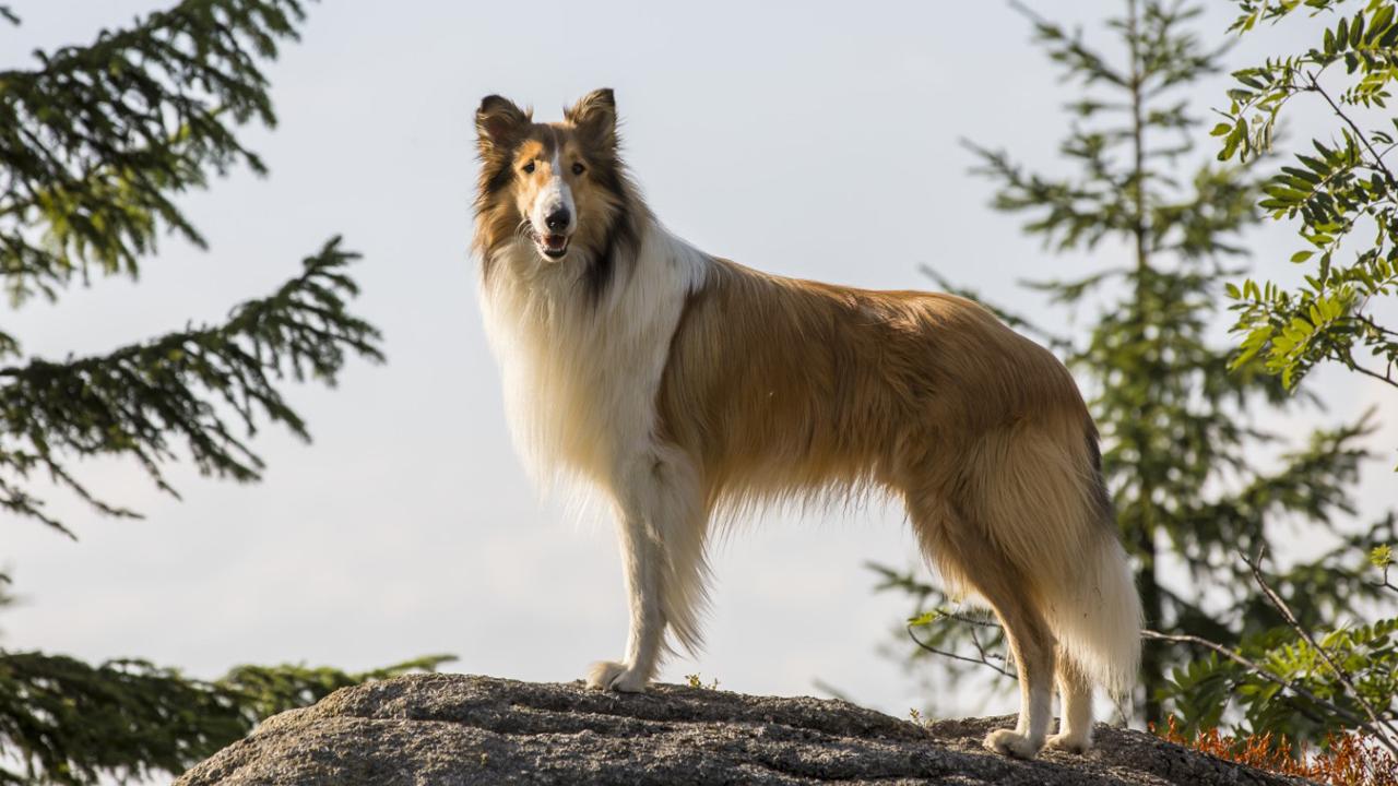 Lassie - Eine abenteuerliche Reise: DVD ...