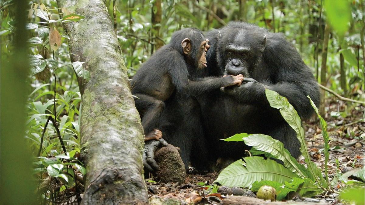 Schimpansen : Bild Mark Linfield