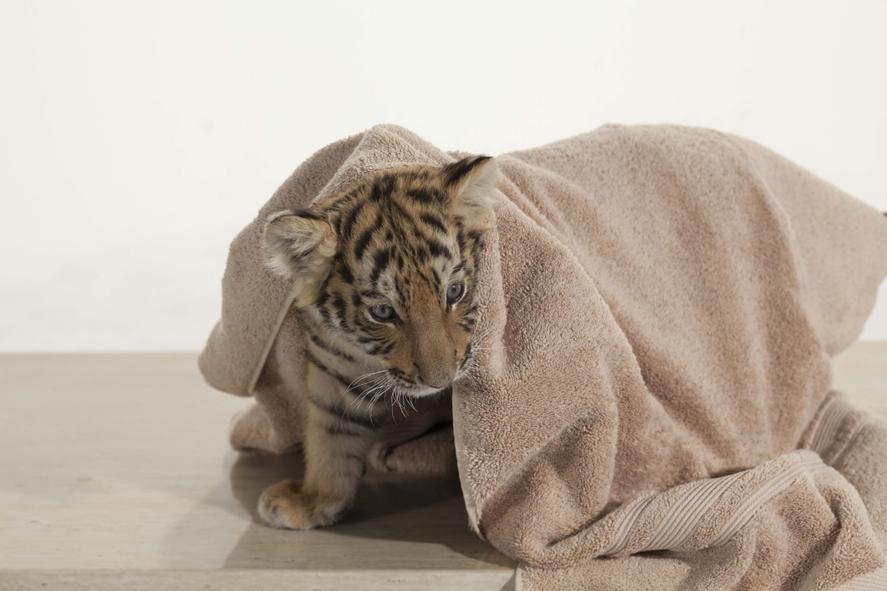 Tiger, Tatzen und TamTam : Bild